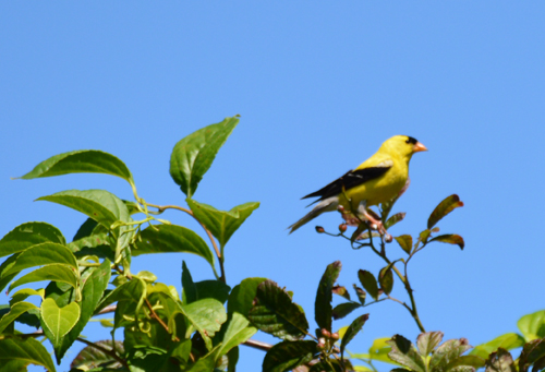 American-Goldfinch-DS-